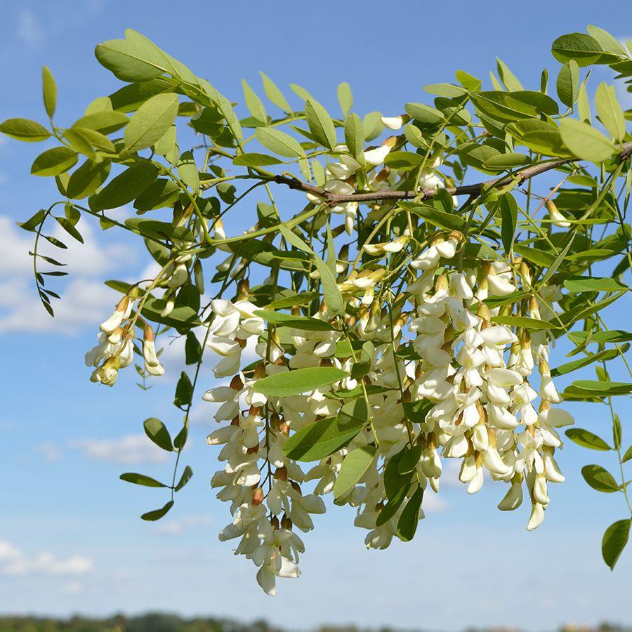 Illustration de la fleur d'acacia